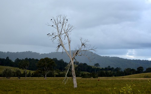 autumn weather landscape overcast australia ibis deadtree nsw australianlandscape plain bentley paddocks northernrivers birdsintree treecorpse backcreekvalley
