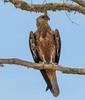 Whistling Kite (Haliastur sphenurus) by Geoff Whalan