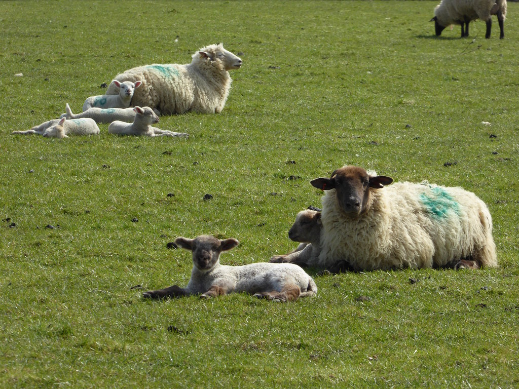 Lambs and mothers Ashurst to Eridge walk