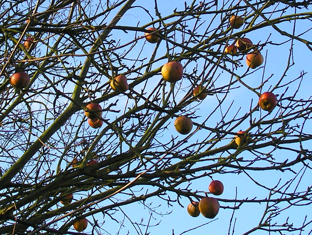 Book 1, Walk 19, Hever to Leigh 1 Winter apples on a leafless tree next to Ensfield Bridge, 14 Jan '07.
