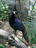 Palawan Peacock-pheasant by Standardwing