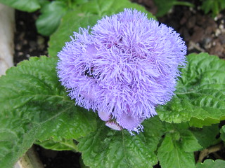 Floss Flower (Ageratum) | by pelennor