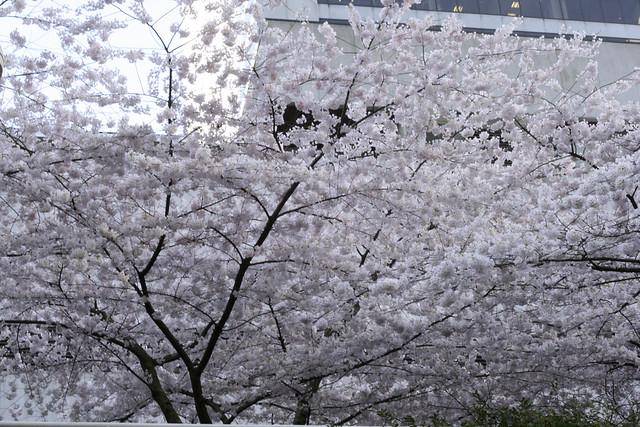 Burrard Station Cherry Blossoms