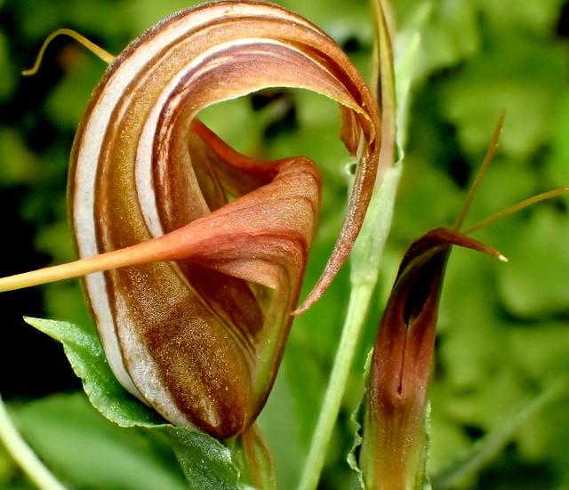 Orchid 'Pterostylis tenuicauda'