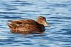 American Black Duck by Bill McBride Photography
