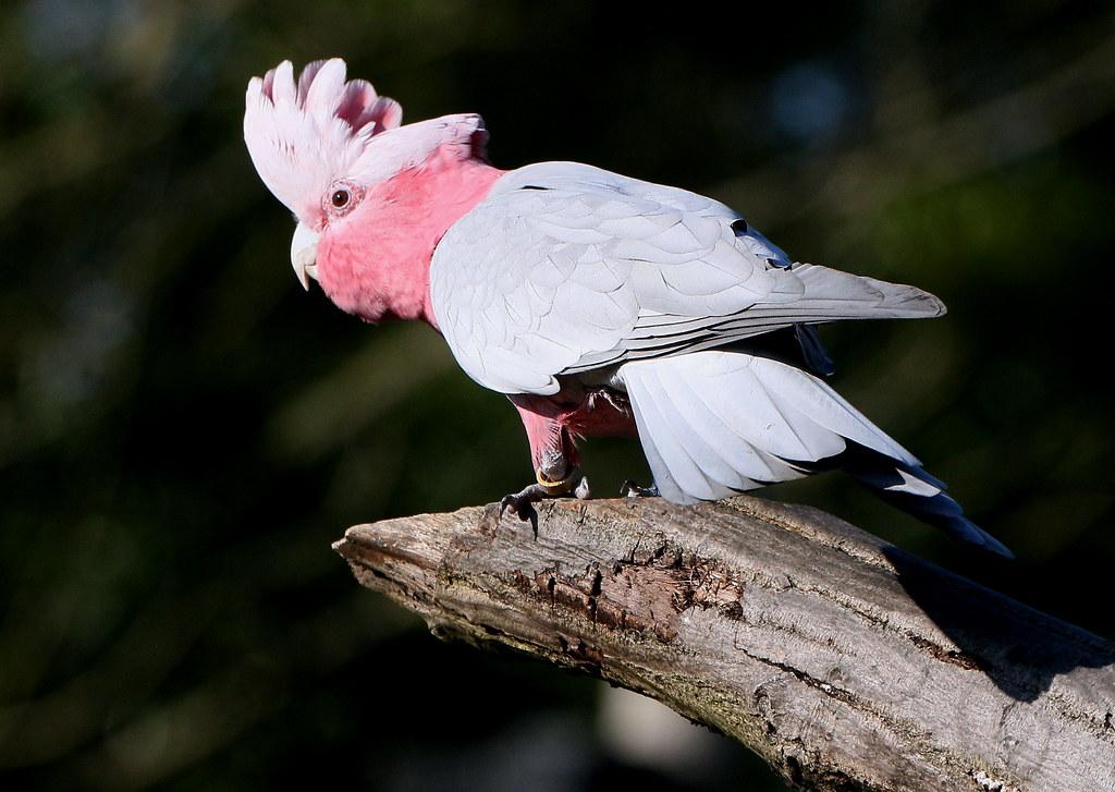 Galah Cockatoo Galore