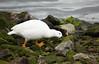 Kelp Goose (Chloephaga hybrida) by Sergey Pisarevskiy