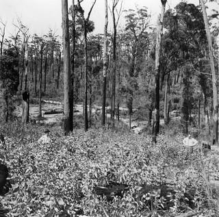 Dense regeneration of Coast Ash established after severe fire in December 1948
