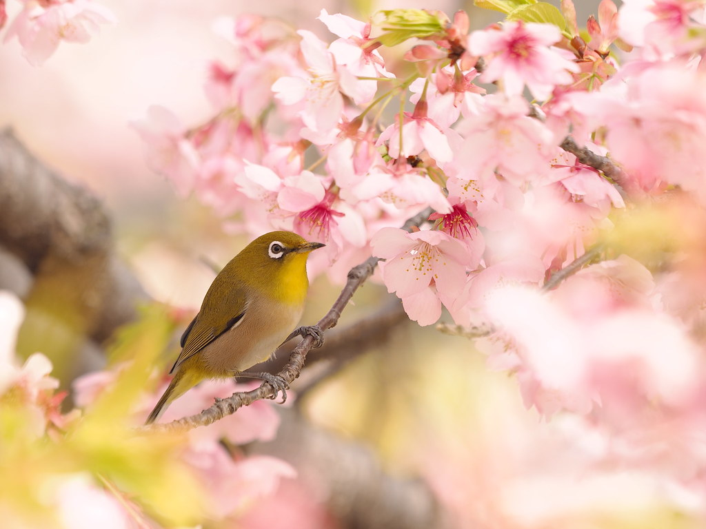 White-eye in the cherry blossoms