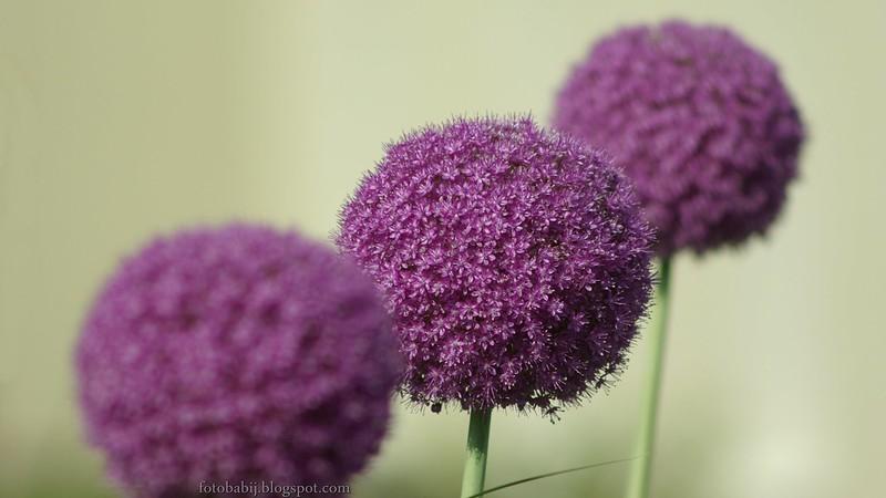 Allium hybridum, czosnek ozdobny kwiaty