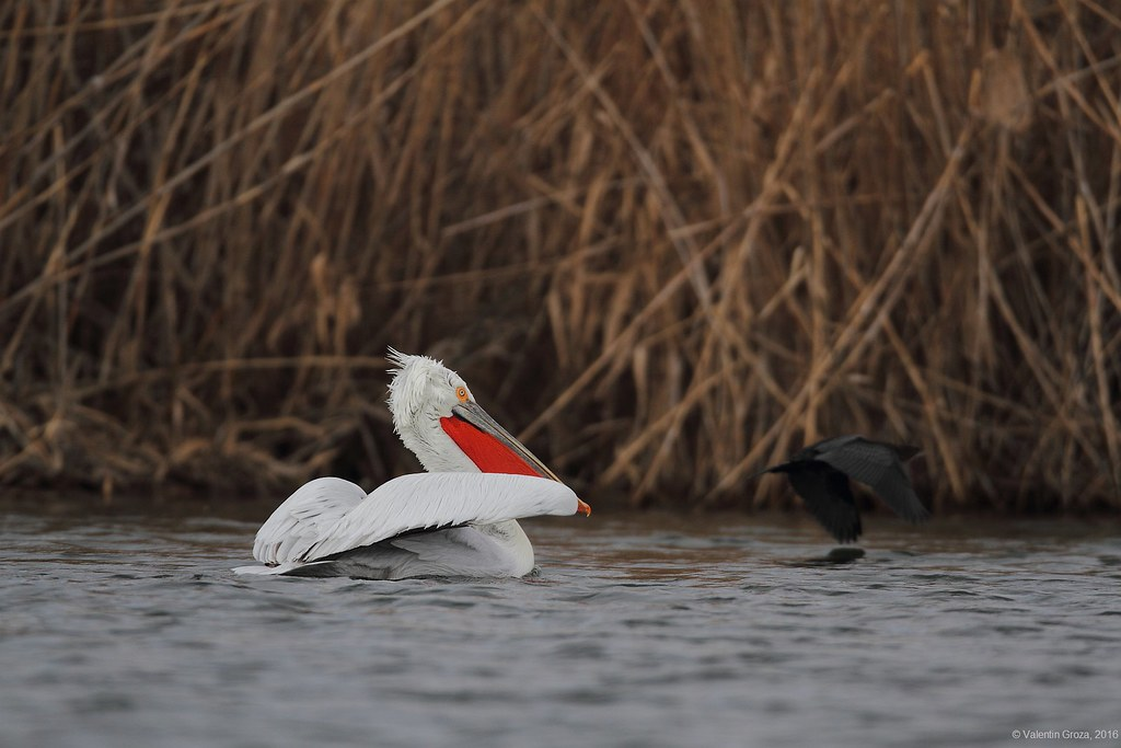 _Pelican cret pe canal