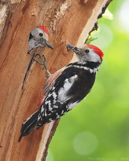 Middle spotted woodpeckers at nest | by Fraton