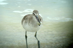 Willet, Bowman's Beach, FL 1/14/2016