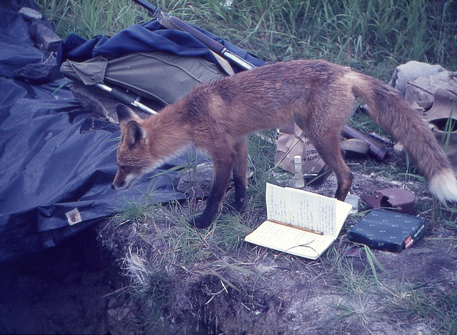 Fox inspecting our archaeological excavation, Kukak Bay, Alaska, 1965