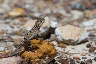 Mountain Heath Dragon | by J.P. Lawrence Photography