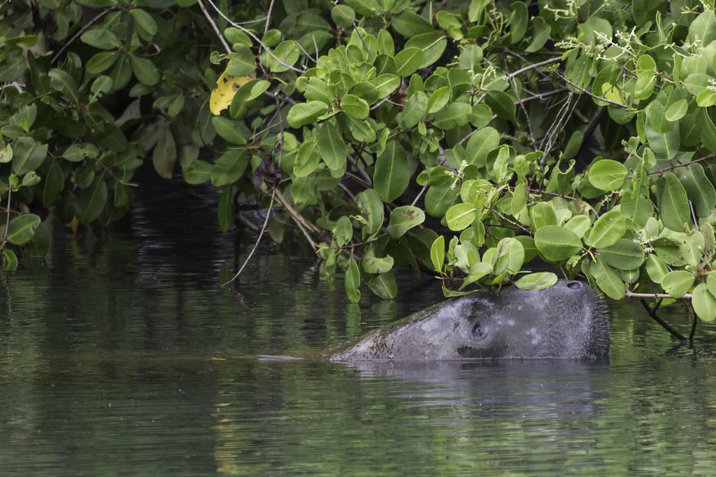Peixe-boi-marinho no rio Tatuamunha