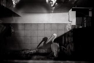 pelican | by nicholas dominic talvola