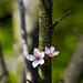 Cheery Blossom in my backyard
