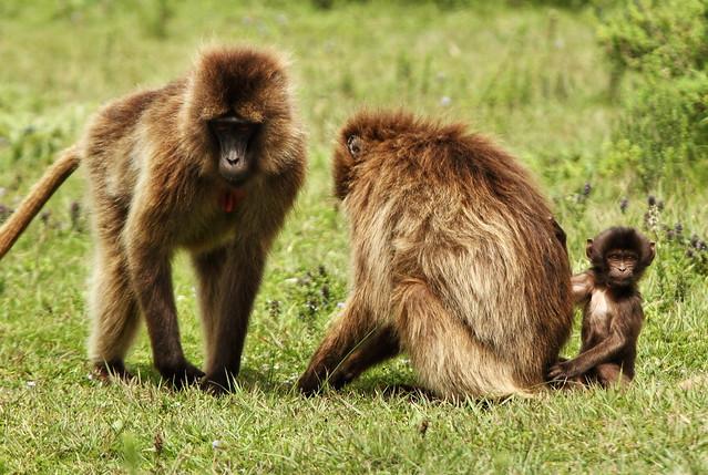 Babuinos gelada. Etiopía: Parque nacional de las Montañas Simien