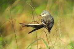 Scissor-tailed Flycatcher, Yucca Pens, FL 1/19/2016