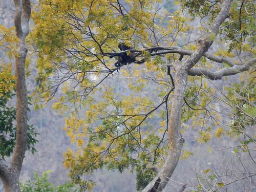 Canon del Sumidero - spider monkey