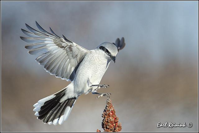 Northern Shrike - landing
