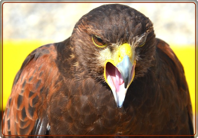 The angry  hawk