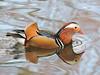 Mandarin Drake by davidhampton1066