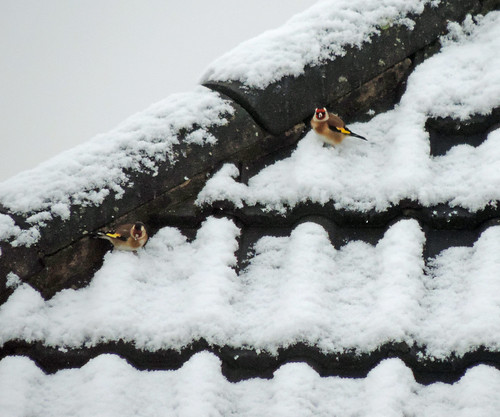 Goldfinches in the snow | by Dun.can