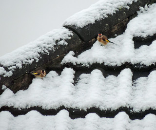 Goldfinches in the snow | by It's No Game