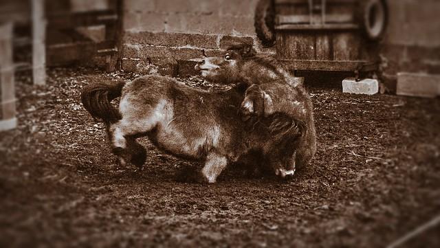 Shetland Pony Fight