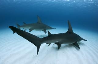 Pair of great hammerhead sharks | by Alastair Pollock