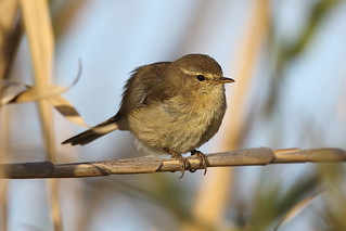 Canary Islands Chiffchaff | by punajalkahaukka
