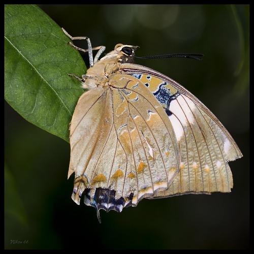 butterfly nikon missouri chesterfield ringflash missouribotanicalgardens d800 faustpark sophiamsachsbutterflyhouse sigma50mmartlens