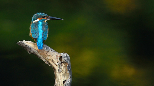 Common Kingfisher, Alcedo atthis in Khao Yai national park | by tontantravel