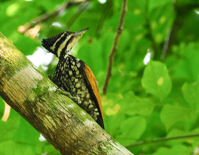 Olive-backed Woodpecker - 2