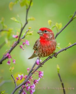 Red Finch in Redbud Tree 3