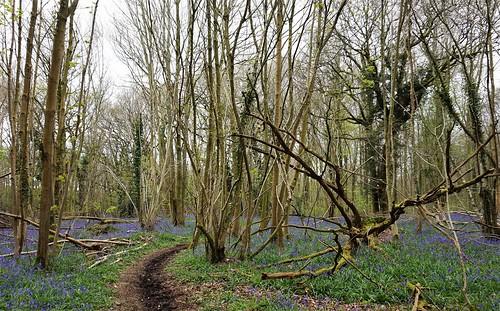 Bluebells in Angmering Park 1 | by Leimenide