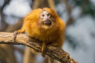 Golden lion tamarin on the branch | by Tambako the Jaguar