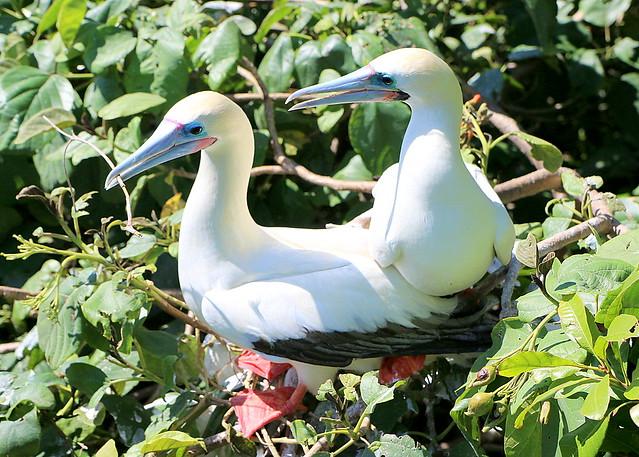 Red-Footed Booby Bird 2 - Blackbird Caye - Belize 2016