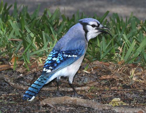 639 - BLUE JAY (2-8-2016) tradwinds park, broward co, fl -01