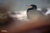 Cape Cormorant by Nicola Destefano - Wildlife Photography