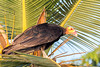 Lesser Yellow-headed Vulture   Oripopo Cabeza Amarilla Menor (Cathartes burrovianus) by ferjflores