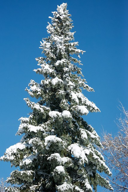 Conifer with Snow