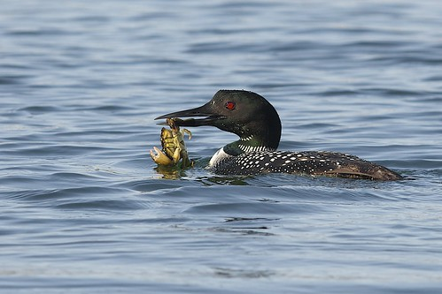 Common Loon (Gavia immer), Long Island Sound, Connecticut | by Daniel J. Field