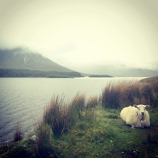 Sheep on the side of the road in Ireland 2013 | by sarahaxid