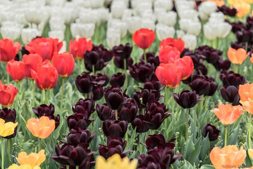 Resultado de imagem para tulipa negra