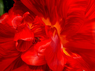 Red & Yellow Flame Tulip
