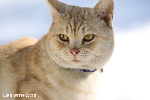 4T4A4769 Cream tabby Japanese cat 薄茶トラ猫