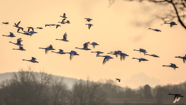 Swans and Snow Geese